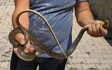 Bursa'da sitenin bahçesine giren yılanı eliyle yakaladı